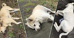 Çarşıbaşı'nda köpek katliamı