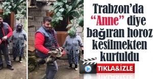 HOROZ ANNE DEDİ KESİLMEKTEN KURTARDI.